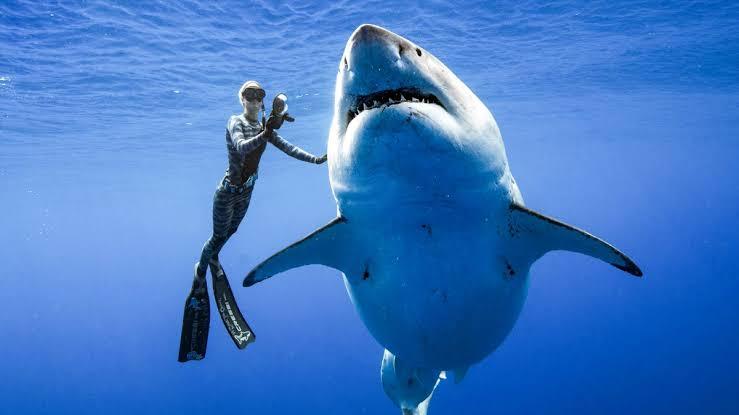 Na imagem há um nadador mergulhando com um tubarão branco.